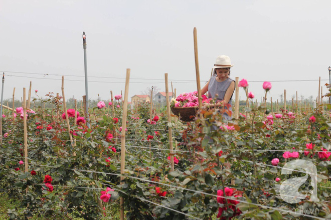 Ngắm khu vườn hoa hồng rộng đến 3 ha đẹp ngất ngây đã giúp cô gái 27 tuổi thoát khỏi bệnh trầm cảm ở Hà Nội - Ảnh 15.