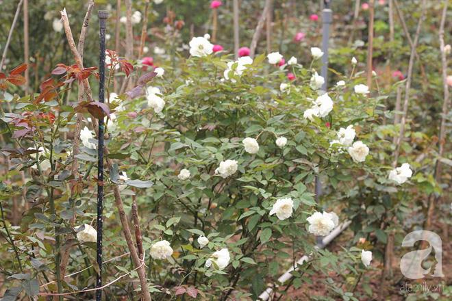 Ngắm khu vườn hoa hồng rộng đến 3 ha đẹp ngất ngây đã giúp nữ giám đốc 27 tuổi thoát khỏi trầm cảm - Ảnh 20.