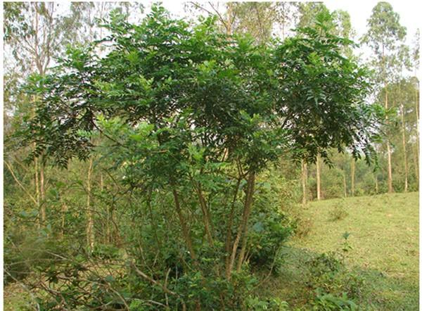 Cây Ưng bất bạc - vị thuốc quý ngàn năm cho lá gan của người Việt - Ảnh 2.