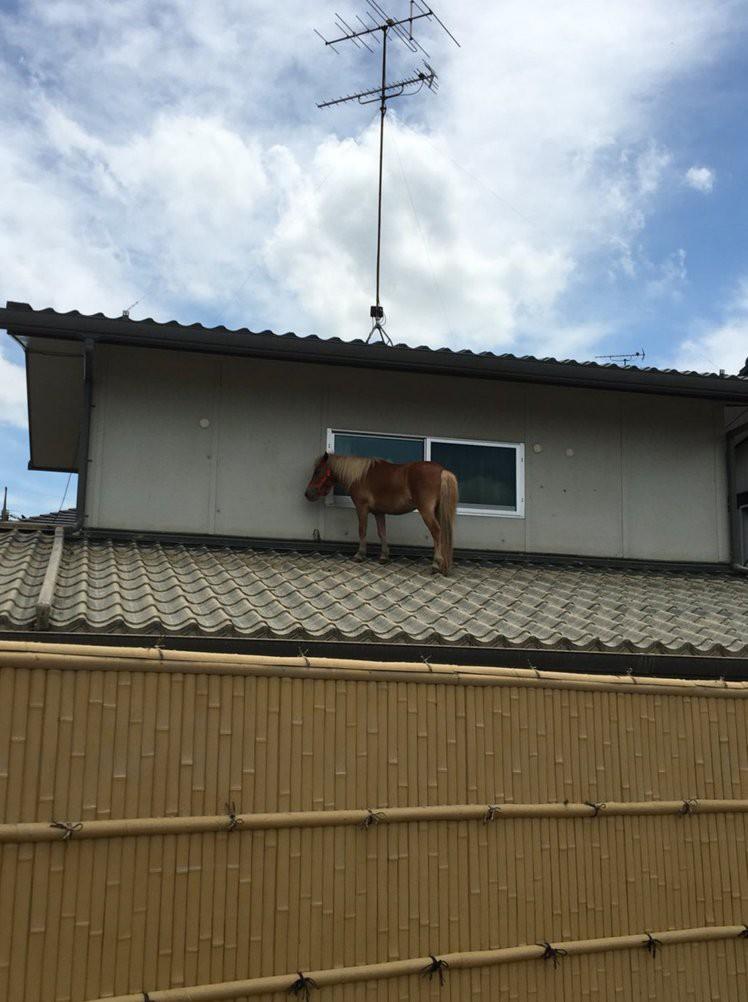 Chú ngựa đi lạc lên... mái nhà sau trận lũ quét ở Nhật Bản - Ảnh 2.