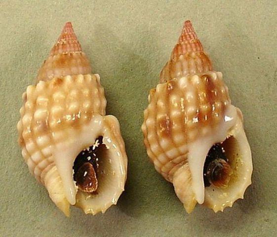 Khi ăn ốc: Hãy tránh xa loài ốc này vì nó có độc tố mạnh hơn cả cá nóc và sẽ giết bạn trong tích tắc - Ảnh 3.