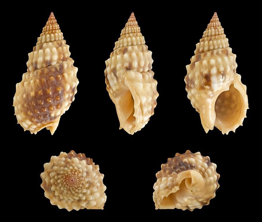 Khi ăn ốc: Hãy tránh xa loài ốc này vì nó có độc tố mạnh hơn cả cá nóc và sẽ giết bạn trong tích tắc - Ảnh 5.