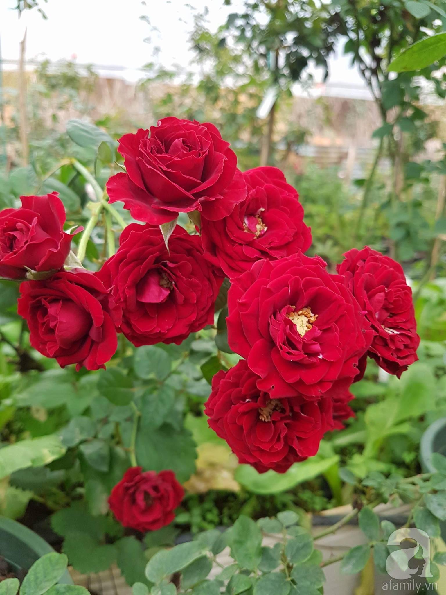 Người bố trồng cả vườn hồng đẹp như mơ để dành tặng con gái yêu ở Đà Lạt - Ảnh 10.