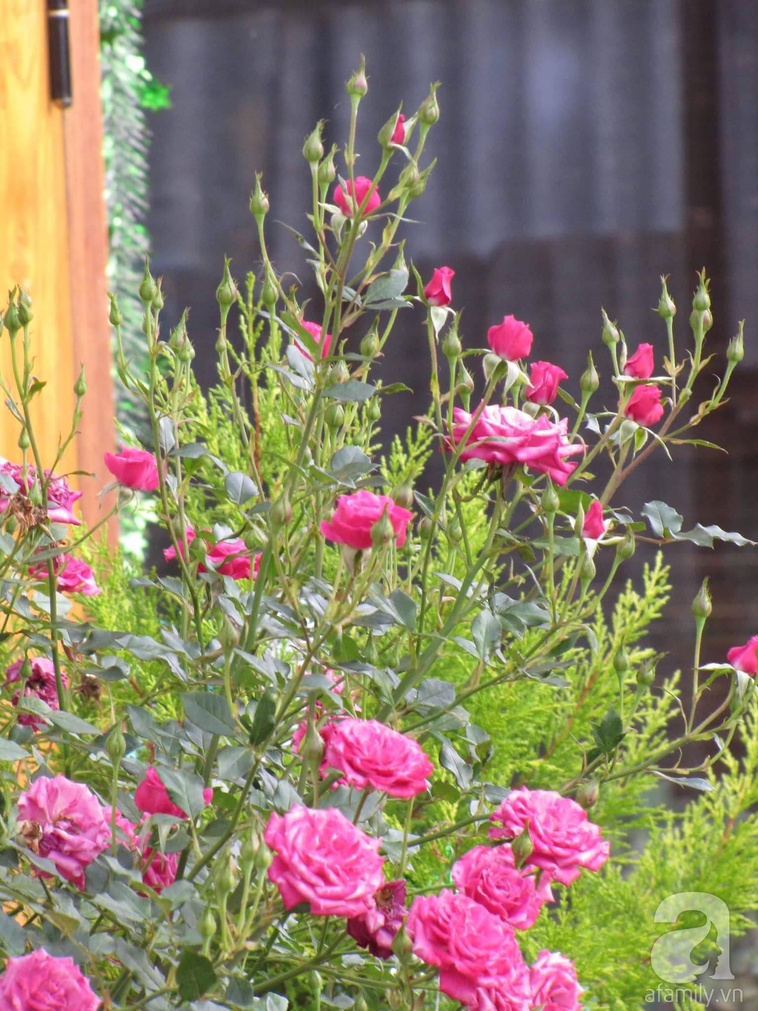 Người bố trồng cả vườn hồng đẹp như mơ để dành tặng con gái yêu ở Đà Lạt - Ảnh 9.