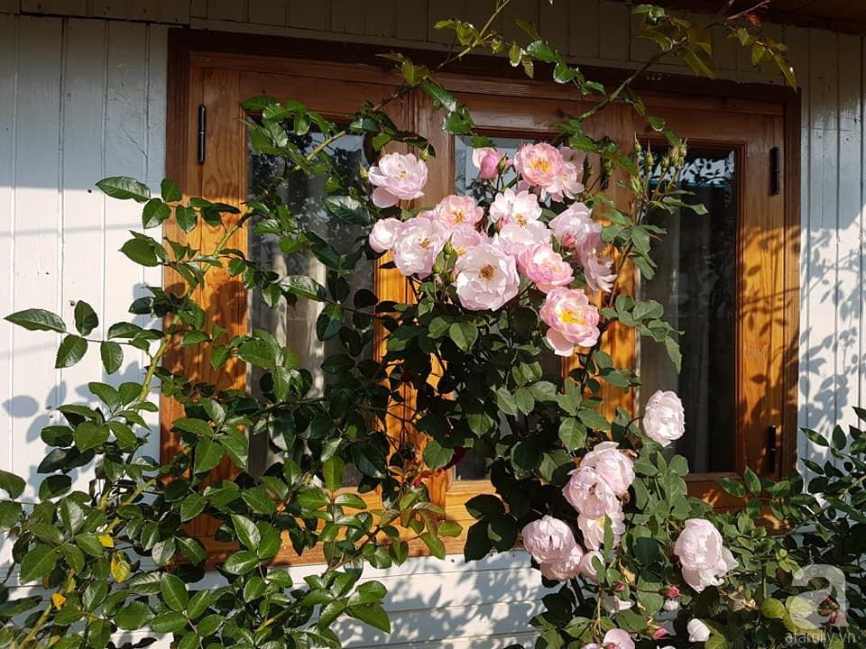 Người bố trồng cả vườn hồng đẹp như mơ để dành tặng con gái yêu ở Đà Lạt - Ảnh 4.