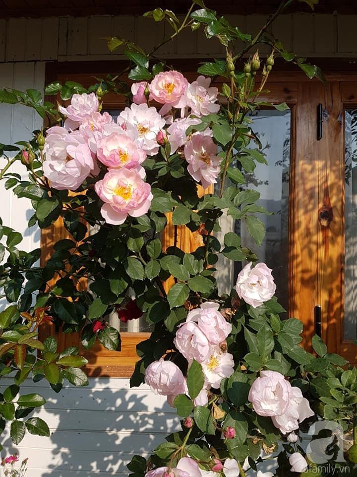 Người bố trồng cả vườn hồng đẹp như mơ để dành tặng con gái yêu ở Đà Lạt - Ảnh 2.