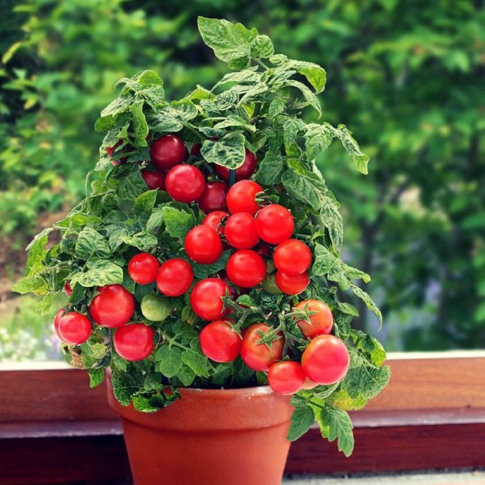12 gạch đầu dòng cơ bản giúp bạn trồng cà chua trong vườn nhà vừa ngon, sạch lại năng suất - Ảnh 1.