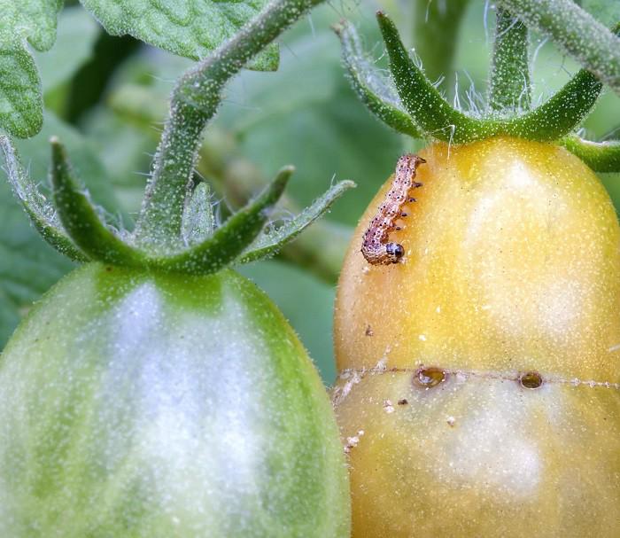 12 gạch đầu dòng cơ bản giúp bạn trồng cà chua trong vườn nhà vừa ngon, sạch lại năng suất - Ảnh 10.
