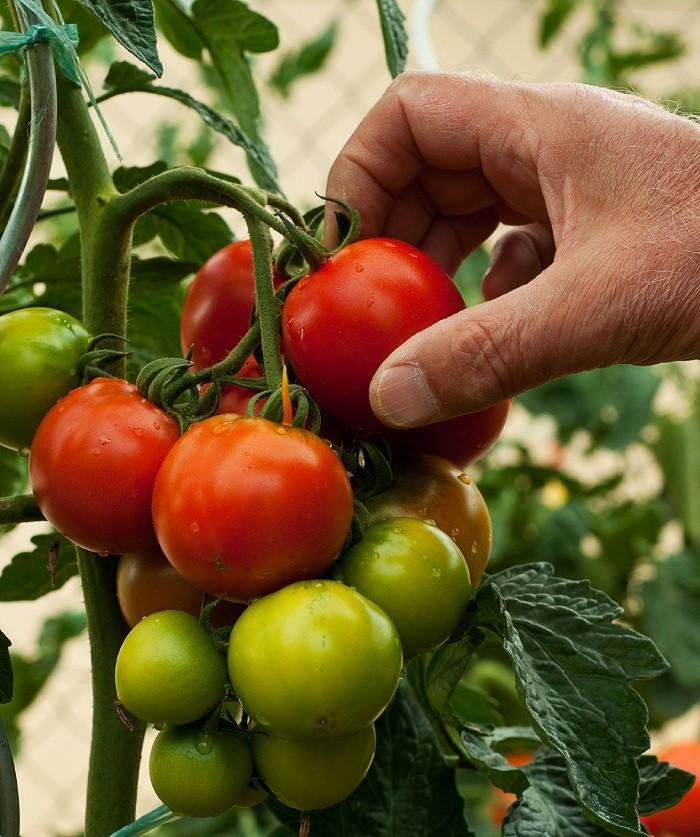 12 gạch đầu dòng cơ bản giúp bạn trồng cà chua trong vườn nhà vừa ngon, sạch lại năng suất - Ảnh 11.