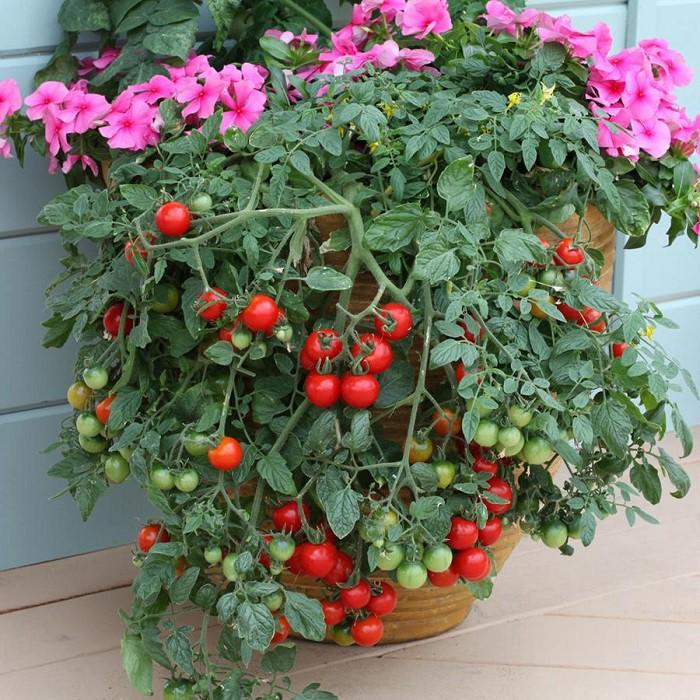 12 gạch đầu dòng cơ bản giúp bạn trồng cà chua trong vườn nhà vừa ngon, sạch lại năng suất - Ảnh 4.