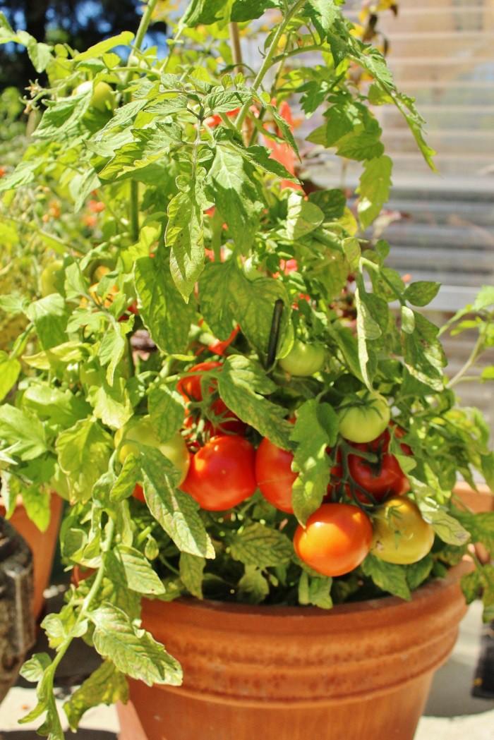 12 gạch đầu dòng cơ bản giúp bạn trồng cà chua trong vườn nhà vừa ngon, sạch lại năng suất - Ảnh 5.