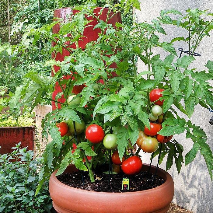 12 gạch đầu dòng cơ bản giúp bạn trồng cà chua trong vườn nhà vừa ngon, sạch lại năng suất - Ảnh 7.