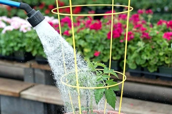 12 gạch đầu dòng cơ bản giúp bạn trồng cà chua trong vườn nhà vừa ngon, sạch lại năng suất - Ảnh 8.