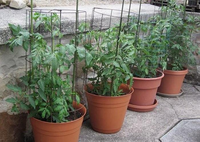12 gạch đầu dòng cơ bản giúp bạn trồng cà chua trong vườn nhà vừa ngon, sạch lại năng suất - Ảnh 9.