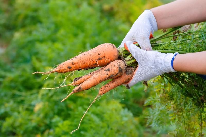 Cách trồng cà rốt tại nhà cực đơn giản, mùa nào cũng có cà rốt sạch để ăn - Ảnh 4.