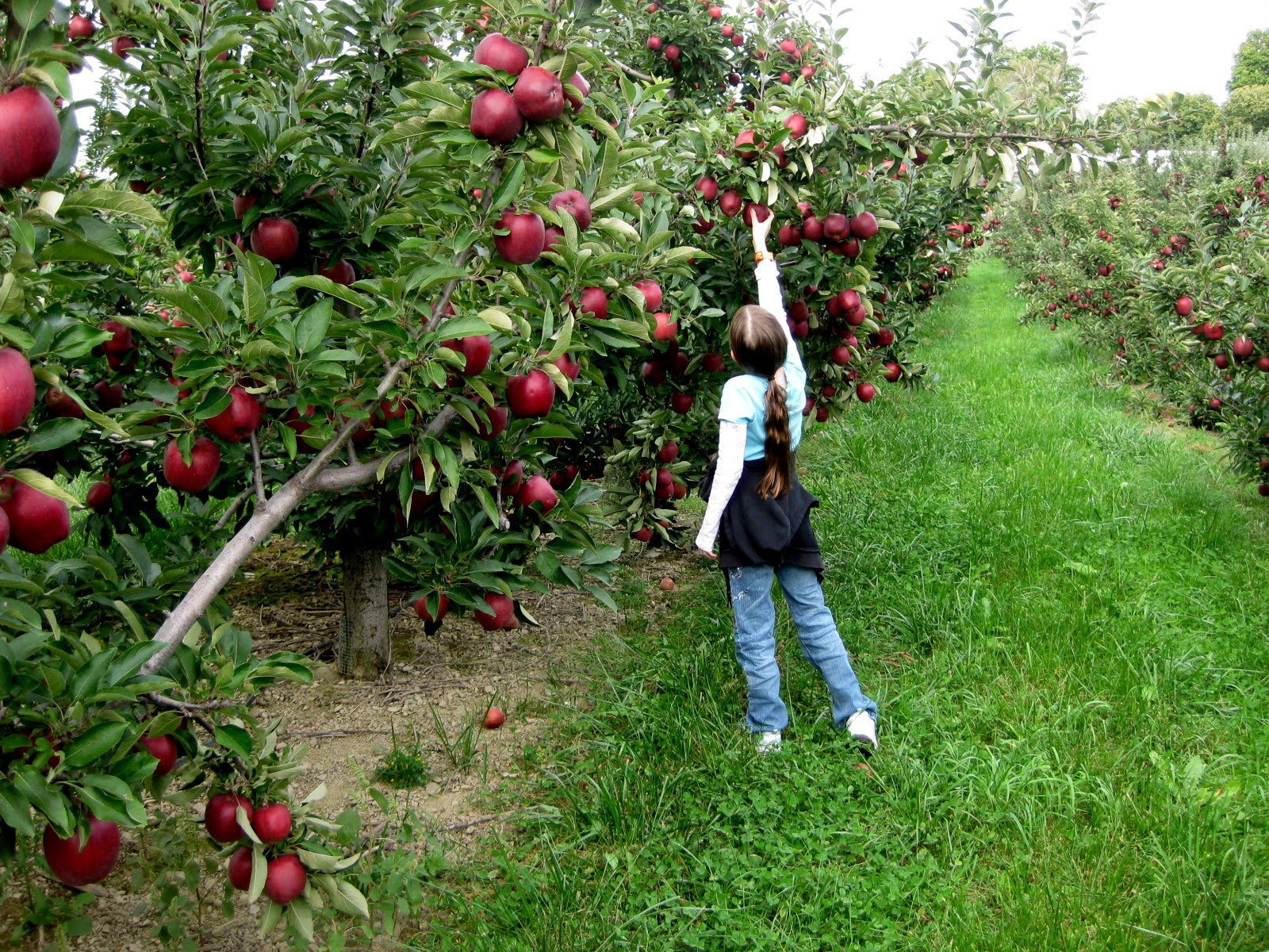 apple-orchards-15309371699441274482815.jpg