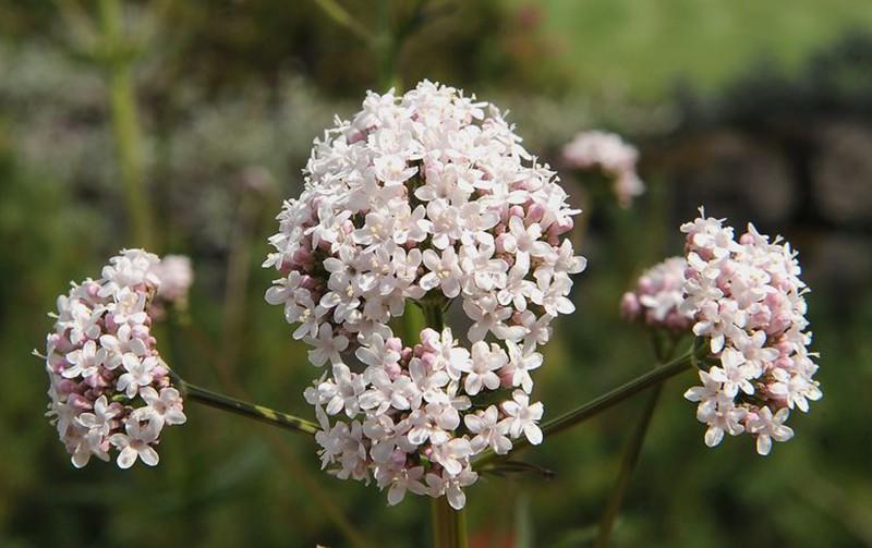 Để giảm stress và thêm yêu đời thì đừng bỏ qua 4 loài hoa này trong khu vườn nhà bạn - Ảnh 4.