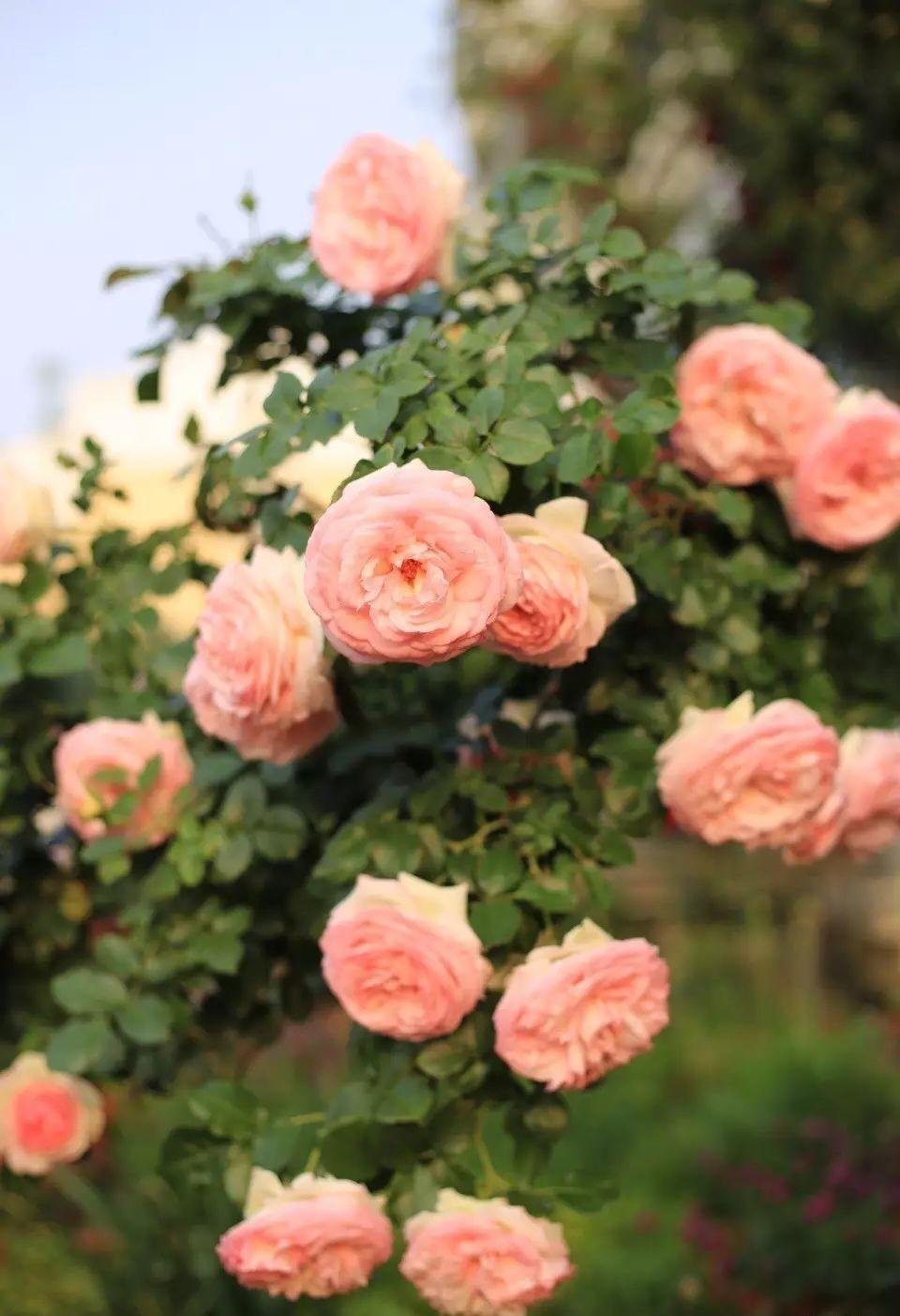 Ngôi nhà tràn ngập sắc hoa hồng ở thị trấn nhỏ của cô gái dành cả thanh xuân chỉ để trồng hoa làm đẹp nhà - Ảnh 16.