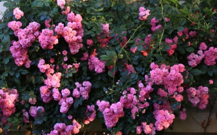 Ngôi nhà tràn ngập sắc hoa hồng ở thị trấn nhỏ của cô gái dành cả thanh xuân chỉ để trồng hoa làm đẹp nhà - Ảnh 8.