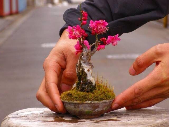Ngất ngây với 15 chậu hoa bonsai mini siêu đẹp để trang trí nhà dịp Tết - Ảnh 2.