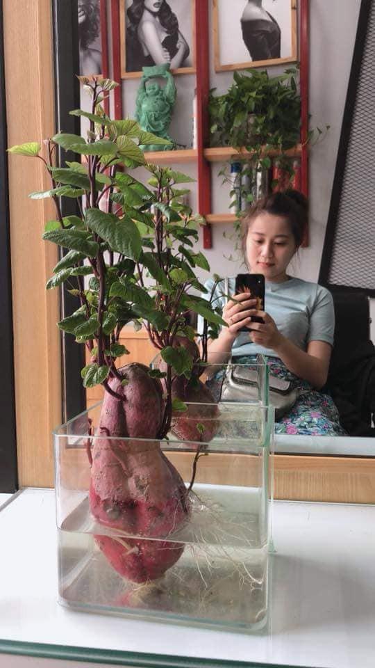 Khi bạn đam mê bonsai nhưng kinh tế và thời gian eo hẹp thì trồng khoai là lựa chọn không tồi - Ảnh 3.