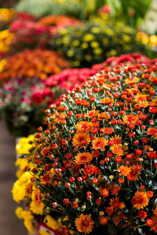 13 loại hoa xứng đáng mọc trong khu vườn nhà bạn trong mùa thu này   - Ảnh 1.