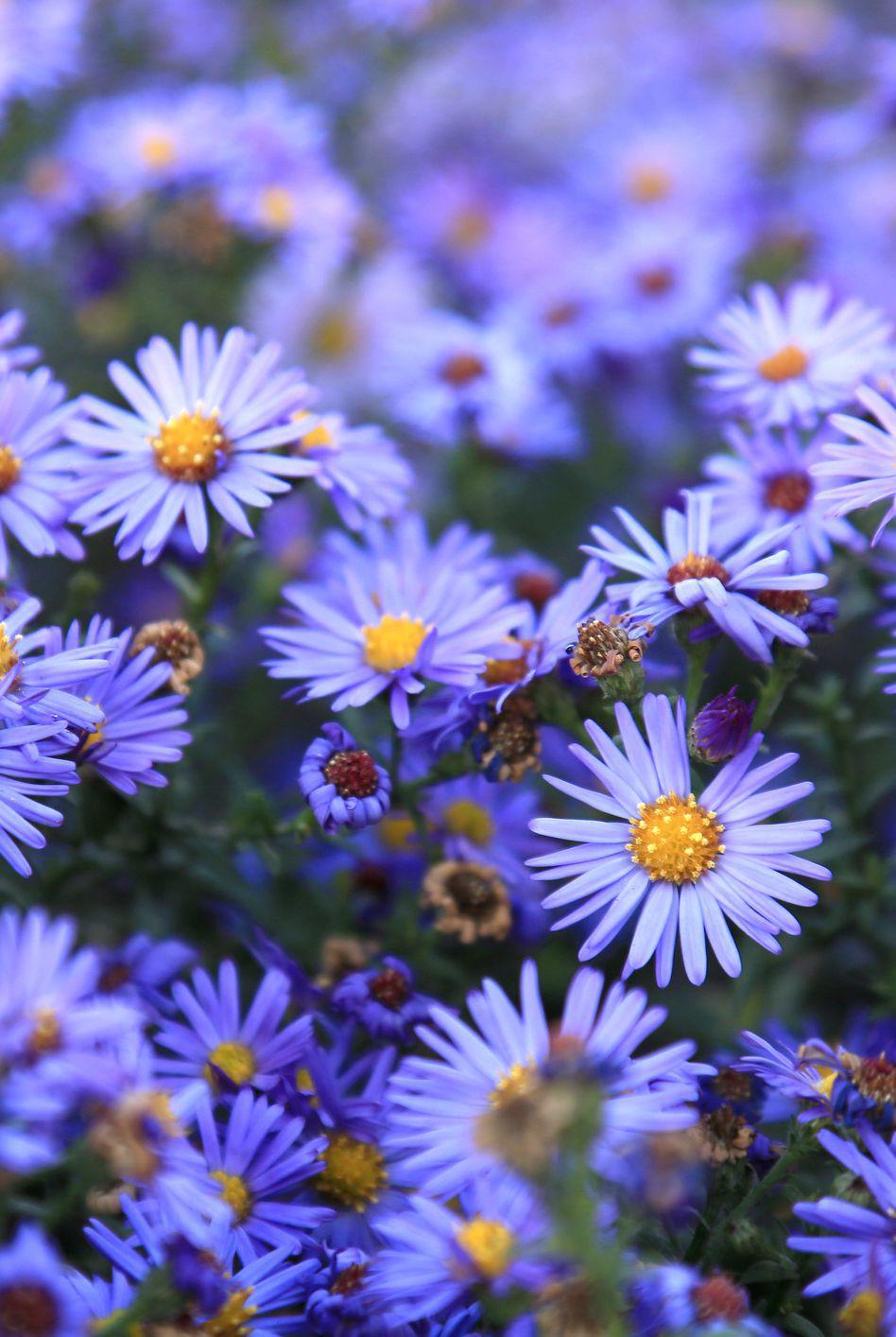 13 loại hoa xứng đáng mọc trong khu vườn nhà bạn trong mùa thu này   - Ảnh 12.