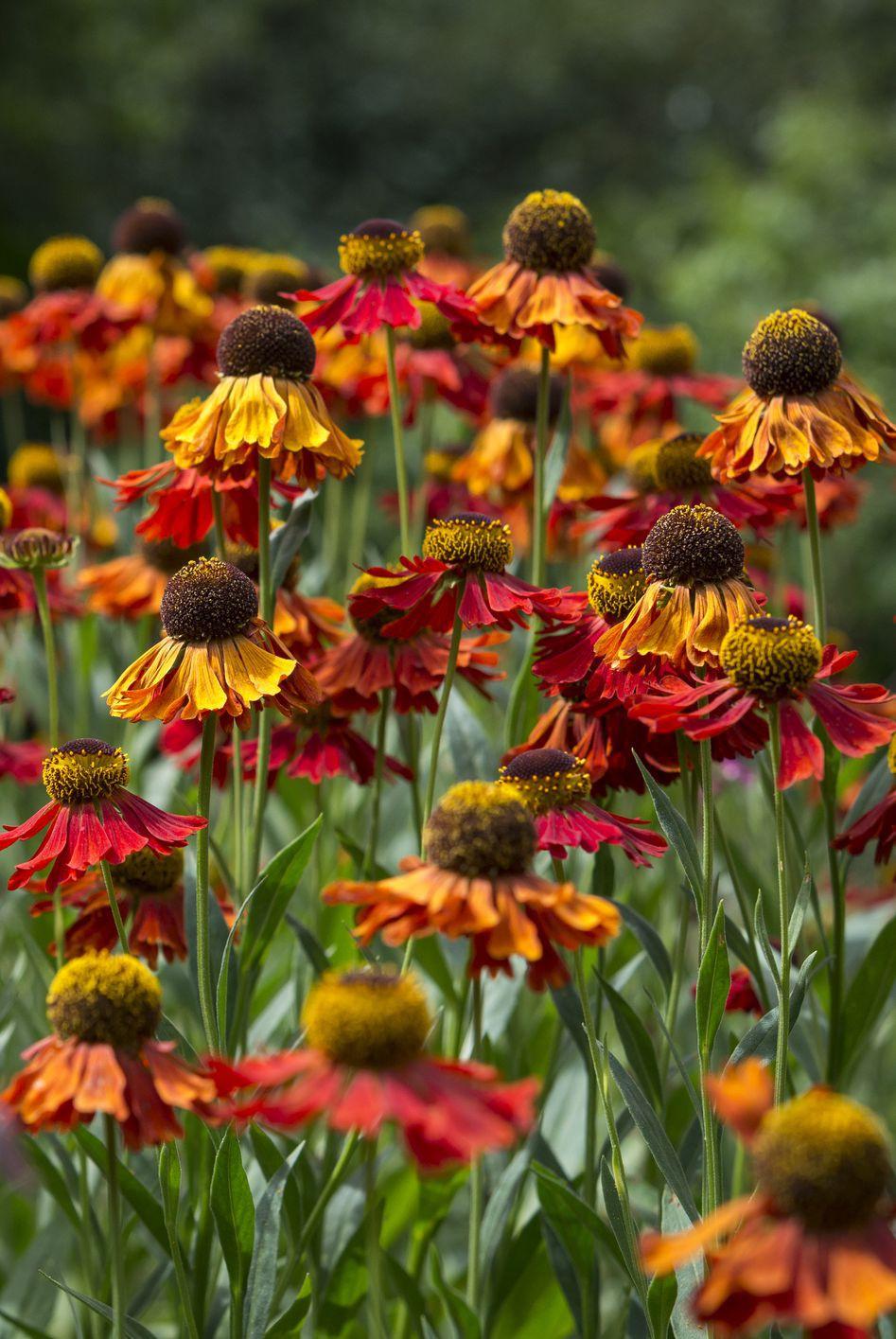 13 loại hoa xứng đáng mọc trong khu vườn nhà bạn trong mùa thu này   - Ảnh 4.
