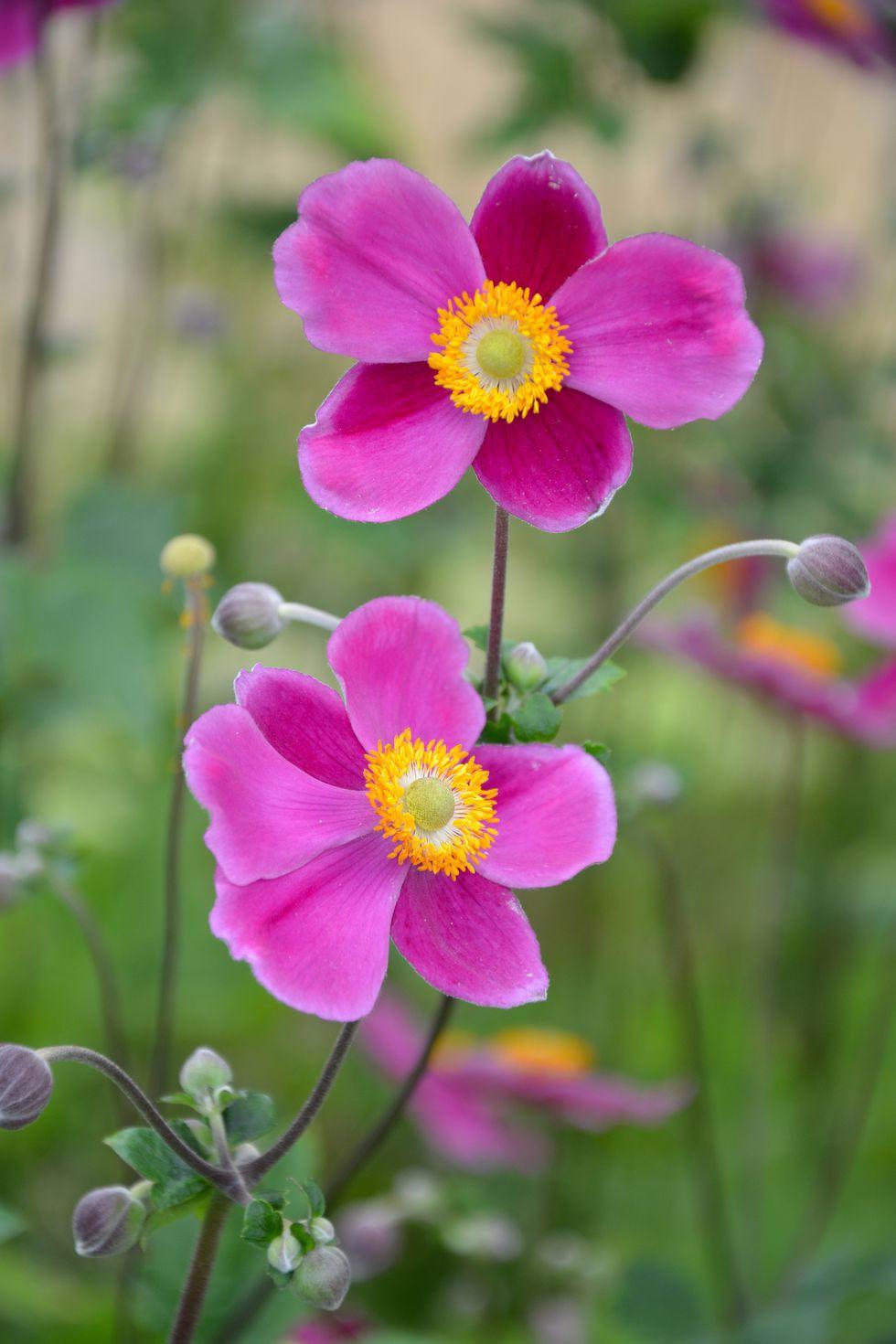 13 loại hoa xứng đáng mọc trong khu vườn nhà bạn trong mùa thu này   - Ảnh 6.