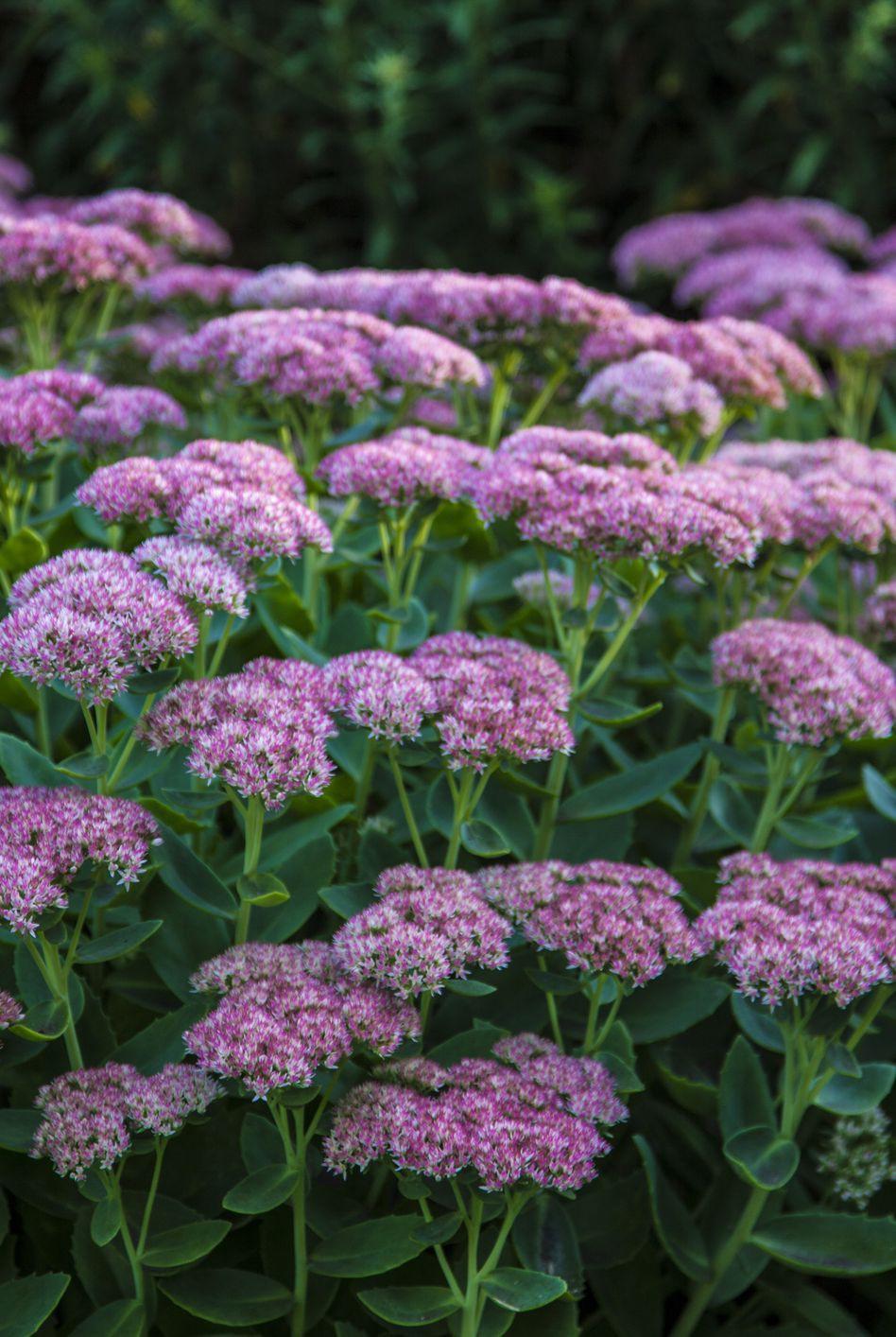 13 loại hoa xứng đáng mọc trong khu vườn nhà bạn trong mùa thu này   - Ảnh 8.