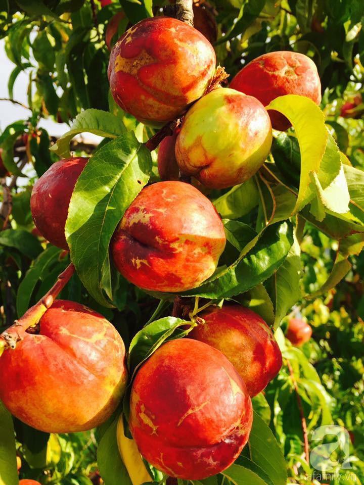 Khu vườn rộng 3.500m² ngập tràn hoa quả của ông chủ tiệm nail người Việt thành đạt trên đất Mỹ 30