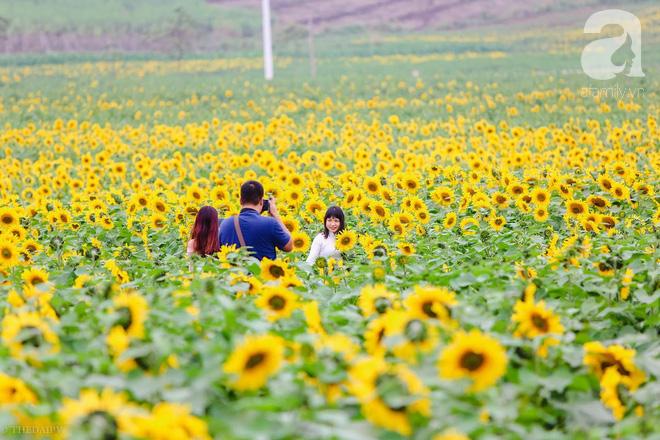 Ngắm cánh đồng hoa hướng dương bạt ngàn hút mắt, vàng rực kiêu hãnh trong cơn mưa đầu xuân - Ảnh 8.