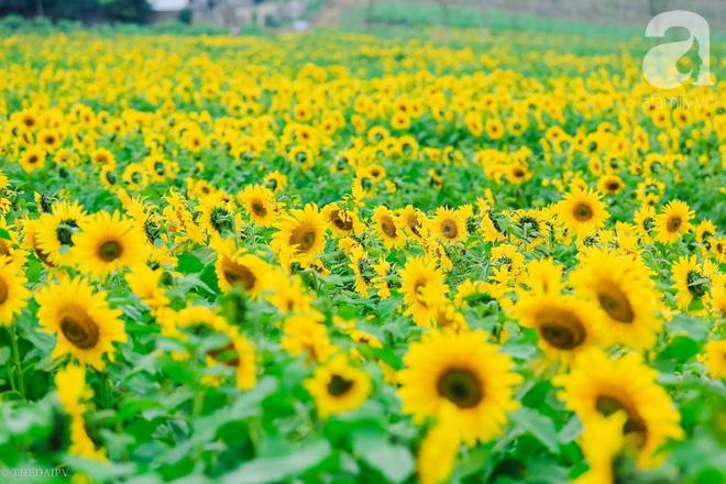 Ngắm cánh đồng hoa hướng dương bạt ngàn hút mắt, vàng rực kiêu hãnh trong cơn mưa đầu xuân - Ảnh 3.