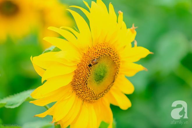 Ngắm cánh đồng hoa hướng dương bạt ngàn hút mắt, vàng rực kiêu hãnh trong cơn mưa đầu xuân - Ảnh 5.