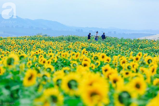 Ngắm cánh đồng hoa hướng dương bạt ngàn hút mắt, vàng rực kiêu hãnh trong cơn mưa đầu xuân - Ảnh 10.