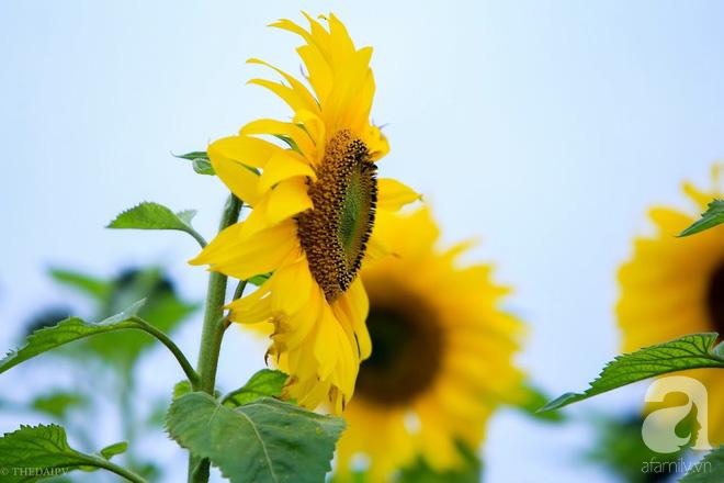 Ngắm cánh đồng hoa hướng dương bạt ngàn hút mắt, vàng rực kiêu hãnh trong cơn mưa đầu xuân - Ảnh 4.