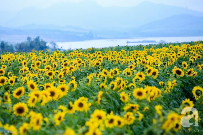 Ngắm cánh đồng hoa hướng dương bạt ngàn hút mắt, vàng rực kiêu hãnh trong cơn mưa đầu xuân - Ảnh 2.
