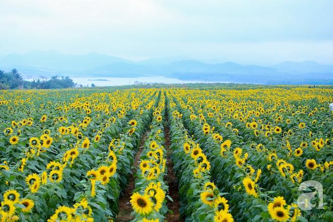 Ngắm cánh đồng hoa hướng dương bạt ngàn hút mắt, vàng rực kiêu hãnh trong cơn mưa đầu xuân - Ảnh 1.