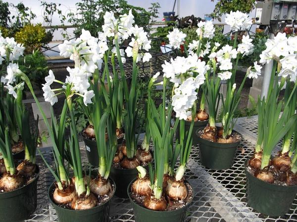 Cách trồng thủy tiên bằng củ không cần đất để trang trí nhà đón Tết, trồng ngay từ bây giờ để ra hoa đúng thời điểm - Ảnh 2.
