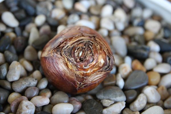 Cách trồng thủy tiên bằng củ không cần đất để trang trí nhà đón Tết, trồng ngay từ bây giờ để ra hoa đúng thời điểm - Ảnh 3.