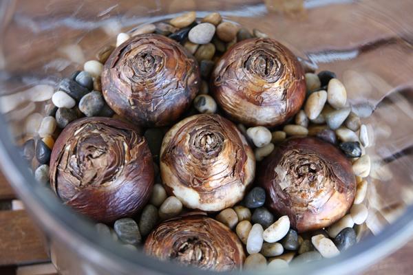 Cách trồng thủy tiên bằng củ không cần đất để trang trí nhà đón Tết, trồng ngay từ bây giờ để ra hoa đúng thời điểm - Ảnh 7.