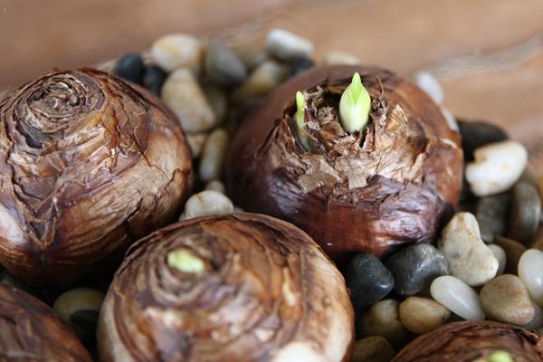 Cách trồng thủy tiên bằng củ không cần đất để trang trí nhà đón Tết, trồng ngay từ bây giờ để ra hoa đúng thời điểm - Ảnh 9.