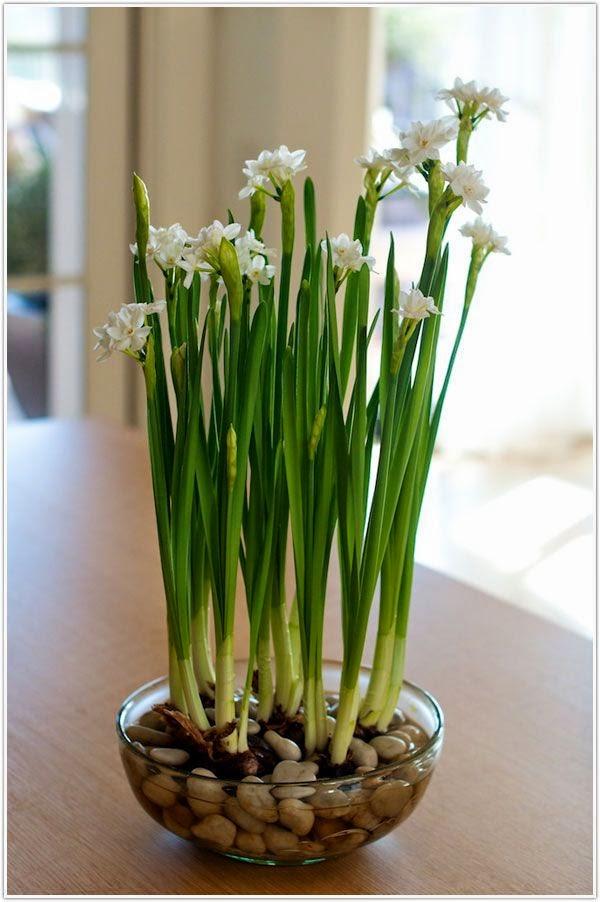 Cách trồng thủy tiên bằng củ không cần đất để trang trí nhà đón Tết, trồng ngay từ bây giờ để ra hoa đúng thời điểm - Ảnh 13.