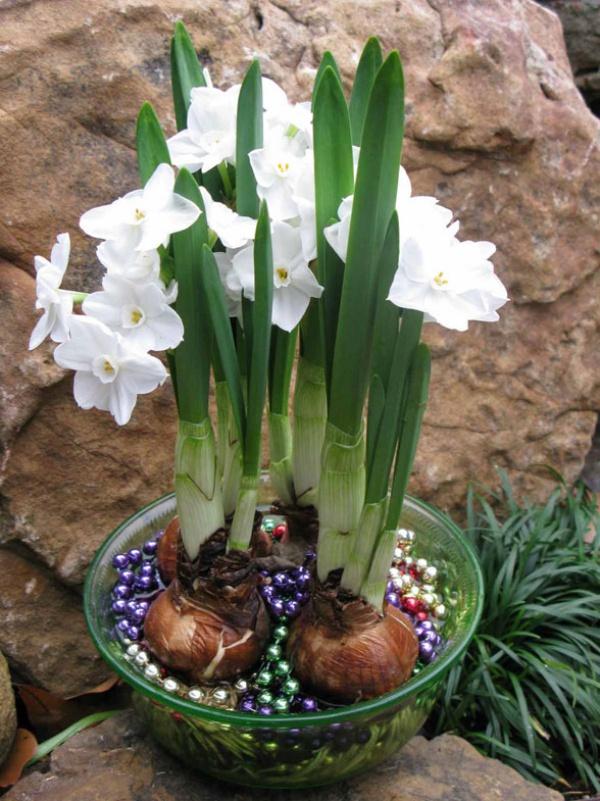 Cách trồng thủy tiên bằng củ không cần đất để trang trí nhà đón Tết, trồng ngay từ bây giờ để ra hoa đúng thời điểm - Ảnh 14.