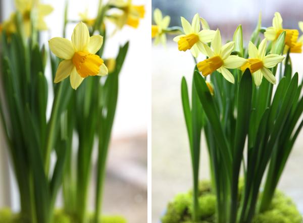 Cách trồng thủy tiên bằng củ không cần đất để trang trí nhà đón Tết, trồng ngay từ bây giờ để ra hoa đúng thời điểm - Ảnh 15.