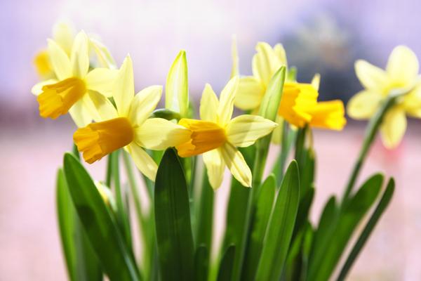 Cách trồng thủy tiên bằng củ không cần đất để trang trí nhà đón Tết, trồng ngay từ bây giờ để ra hoa đúng thời điểm - Ảnh 16.