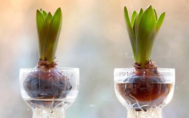 Sở hữu một bình hoa Tulip cực đẹp vào dịp Tết bằng cách trồng từ nước đơn giản như này - Ảnh 8.