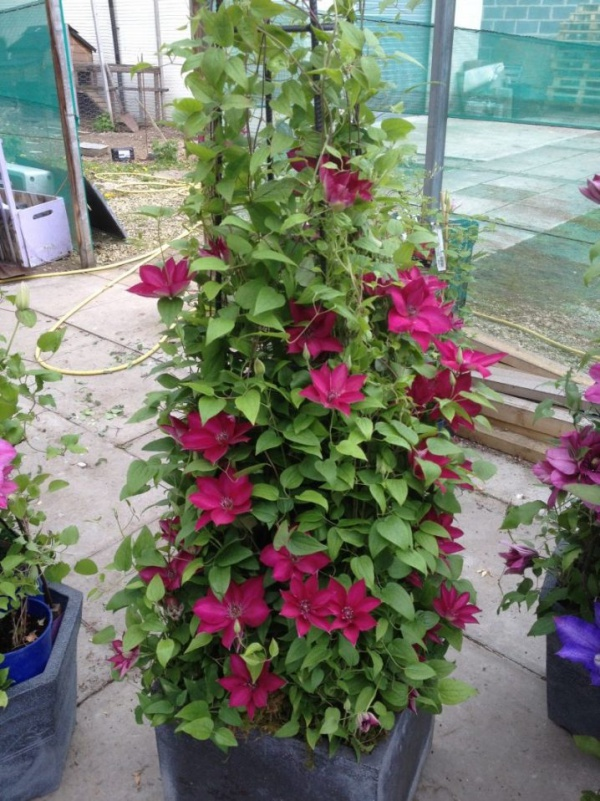 Những mẹo nhỏ giúp cây hoa ông lão trở thành điểm nhấn duyên dáng đặc biệt cho khu vườn - Ảnh 2.
