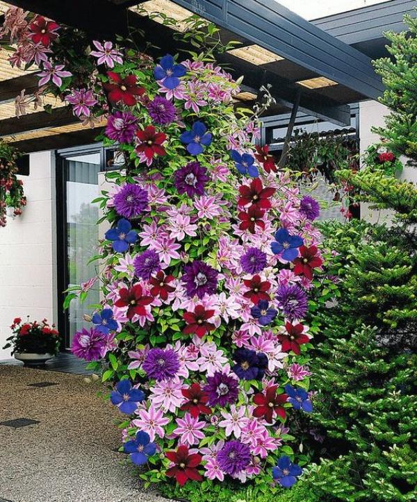 Những mẹo nhỏ giúp cây hoa ông lão trở thành điểm nhấn duyên dáng đặc biệt cho khu vườn - Ảnh 5.