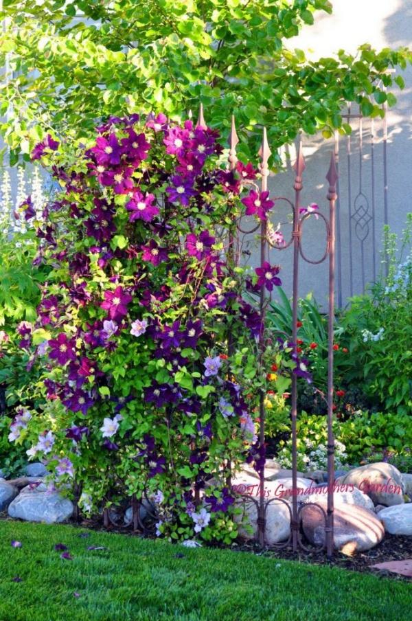 Những mẹo nhỏ giúp cây hoa ông lão trở thành điểm nhấn duyên dáng đặc biệt cho khu vườn - Ảnh 6.